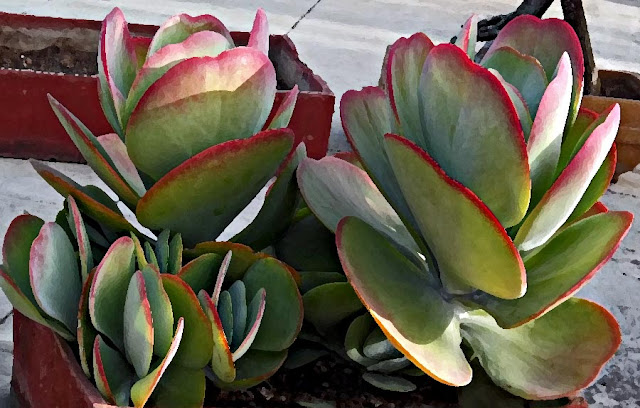 green cactus leaves with red borders