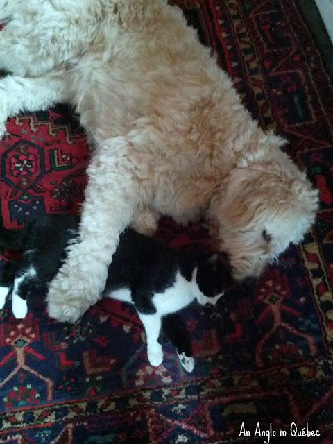 Jack and Felix/Golden Doodle hugging a cat