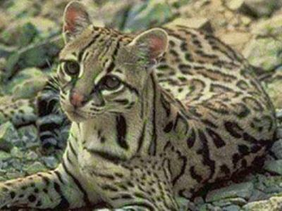 Destila ocelot eco