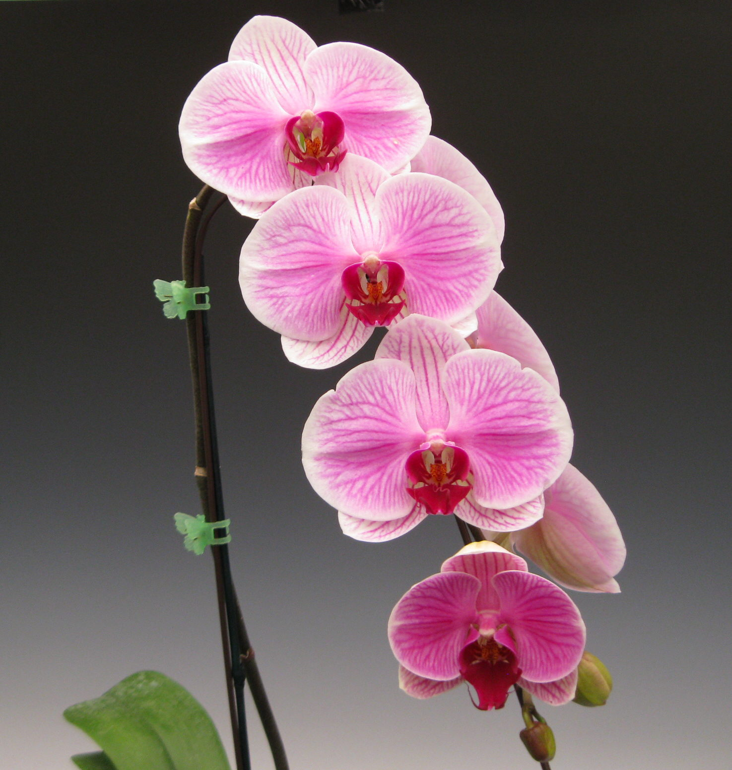 Mother s Day Orchid Flowers
