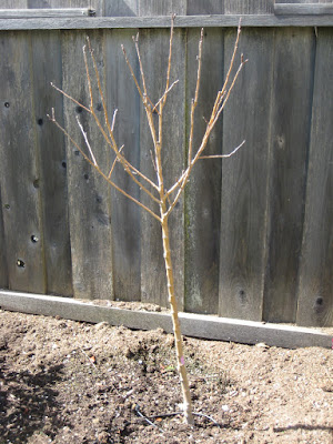 Costco apple tree planted in the backyard