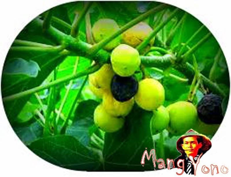 Makan buah Jatropha Curcas (Jarak Pagar) bikin weureu