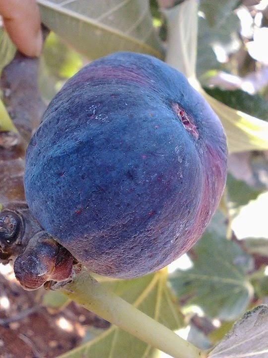 Malta Black Figs