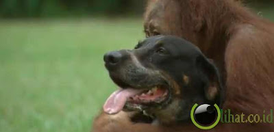 Pasangan Orangutan Dan Anjing
