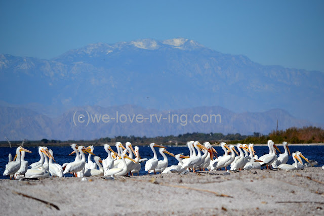 White pelicans at their winter home on the Salton Sea, CA