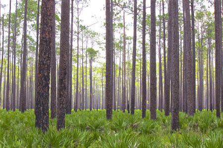 Pine Flatlands