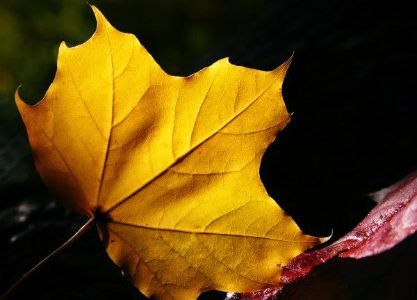 Chiếc Lá Thu Phai Yellow-maple-leaf