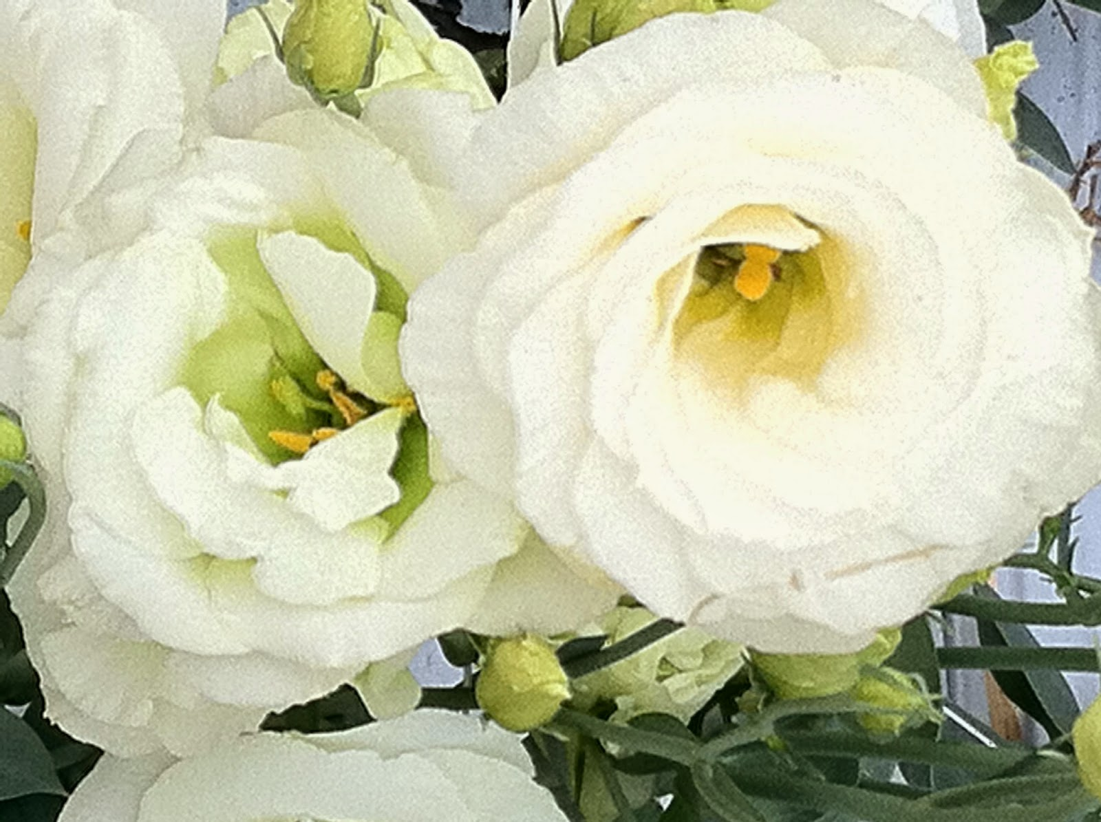 Notes And News From Shady Grove Gardens Lisianthus Flowers