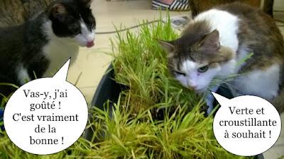 2 chats mangent de l'herbe à chat