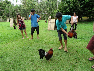 Fighting Cock Farm