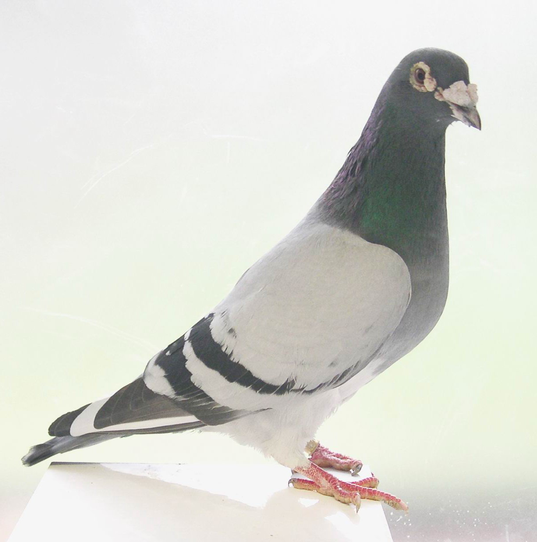 Racing Homer Pigeons