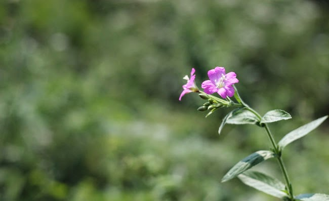 Great Willowherb Flowers Pictures