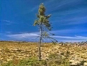 Pohon Tertua Di Dunia [ www.BlogApaAja.com ]