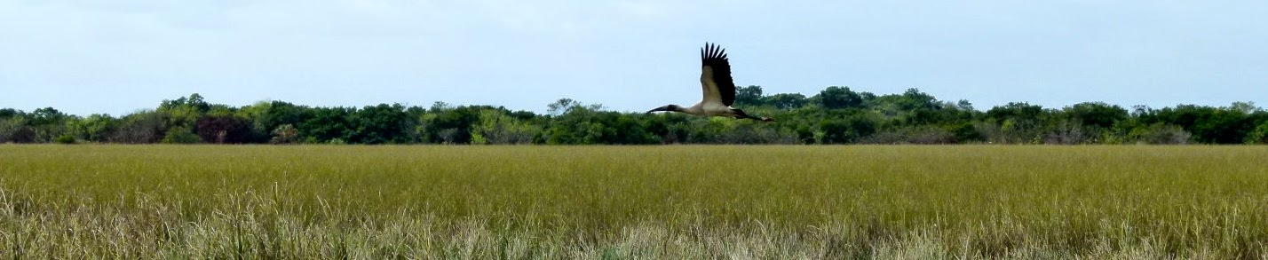 Wood stork in flight, Shark Valley, Everglades National Park