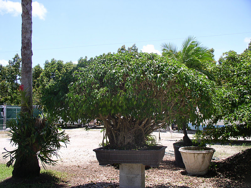 Ficus bonsai there are over 600 species of ficus