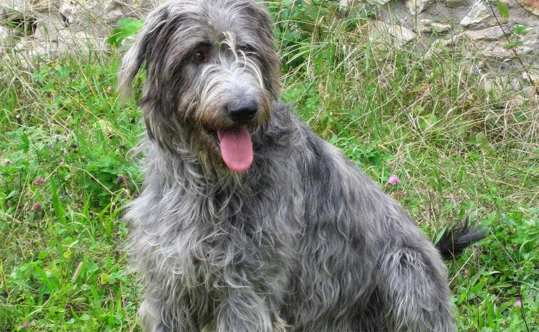 Raça Wolfhound Irlandês