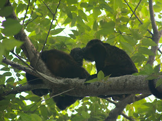 Two monkeys in the secondary rainforest patch behind the Blu Sol Guesthouse
