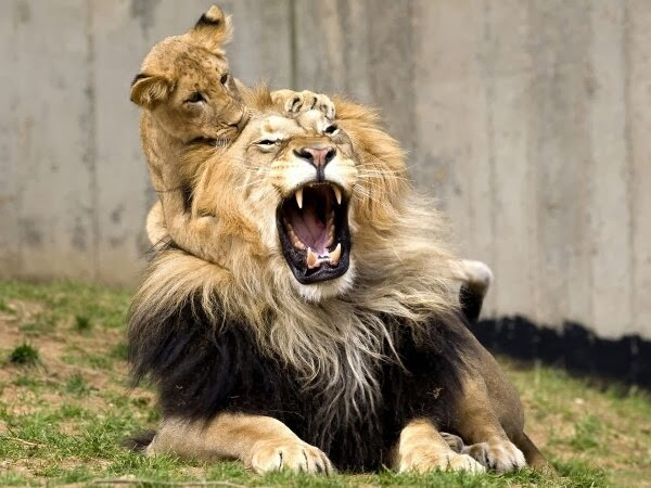 Funny animals of the week - 17 January 2014 (40 pics), baby lion playing with daddy