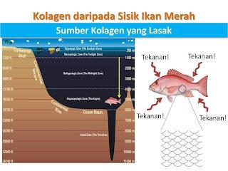 Ikan merah sumber SCP