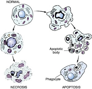 Apoptosis Is Mediated by an Intracellular Proteolytic Cascade