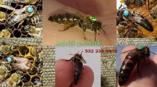 Karniyol arısı ve kraliçe arı üretim faaliyetlerimiz