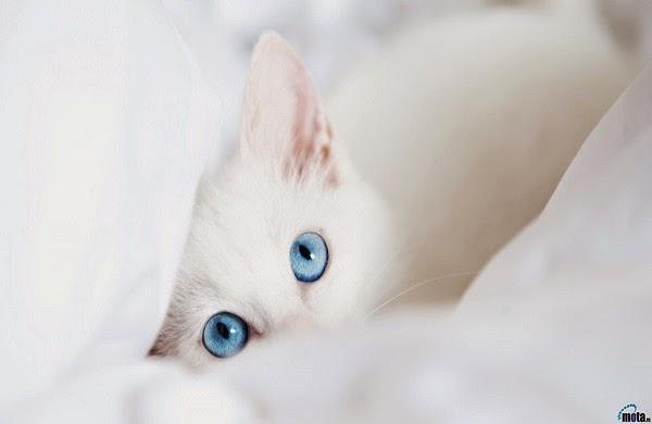 Photo chat blanc yeux bleus sous couverture