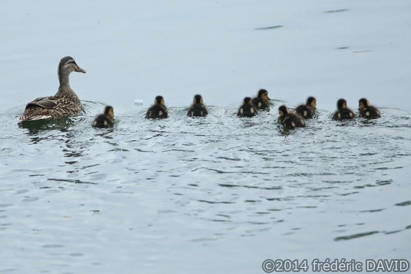 animaux oiseaux canard canetons Sorques Seine-et-Marne