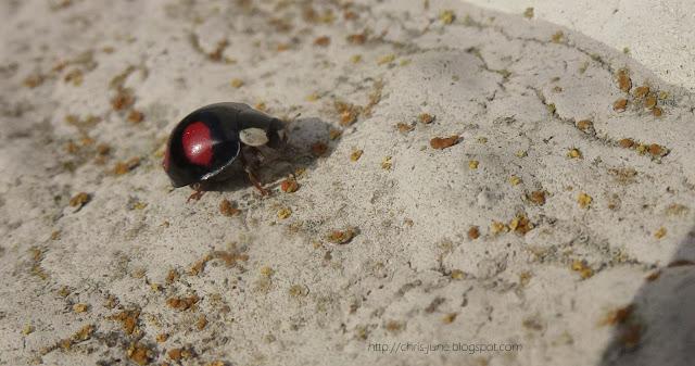 Asiatischer Marienkäfer an der Hauswand