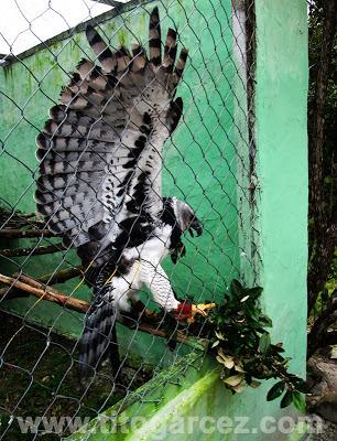 Harpia (Harpia harpyja) demonstra o seu porte e força no Parque dos Falcões, em Sergipe
