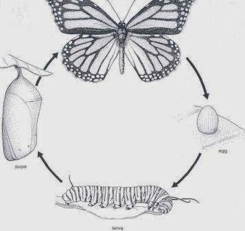Pengertian Metamorfosis: Apa itu Metamorfosis?