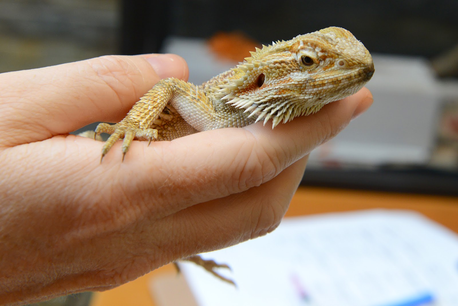 Centralian bearded dragon reptile