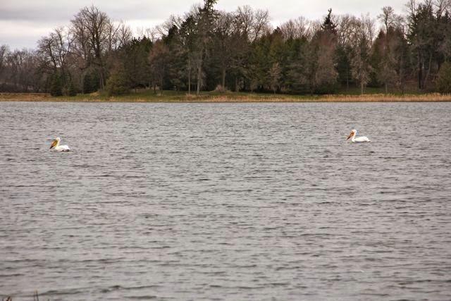 pelicans passing through
