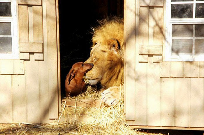 #10 Milo The Dog And Bonedigger The Lion - Unusual Animal Friendships That Are Absolutely Adorable!
