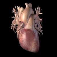 3d Cardiovascular System3