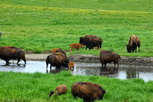 buffalo herd with Spring calves