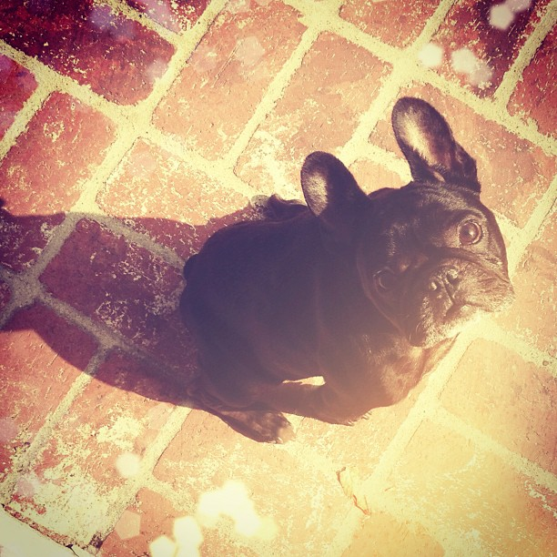 leroy french bulldog