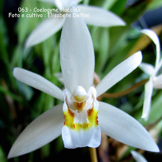 Coelogyne flaccida do blogdabeteorquideas
