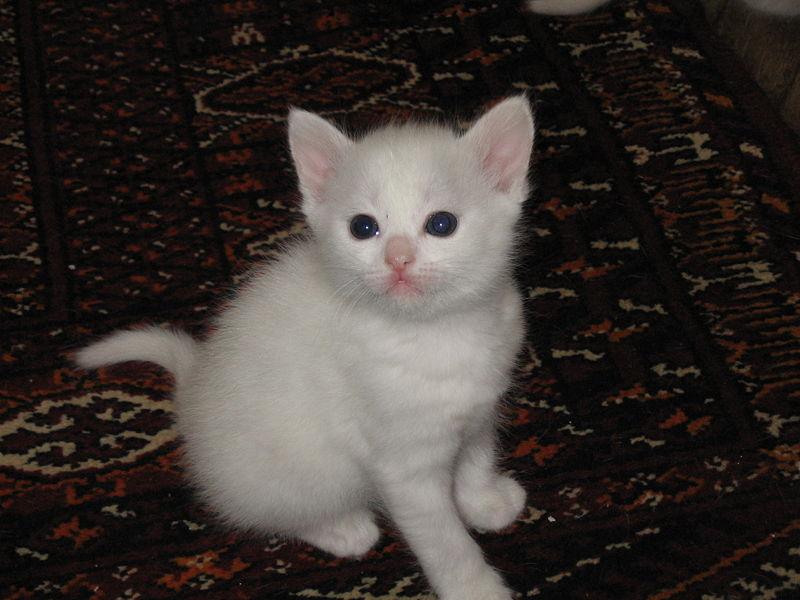 kitten for free toronto