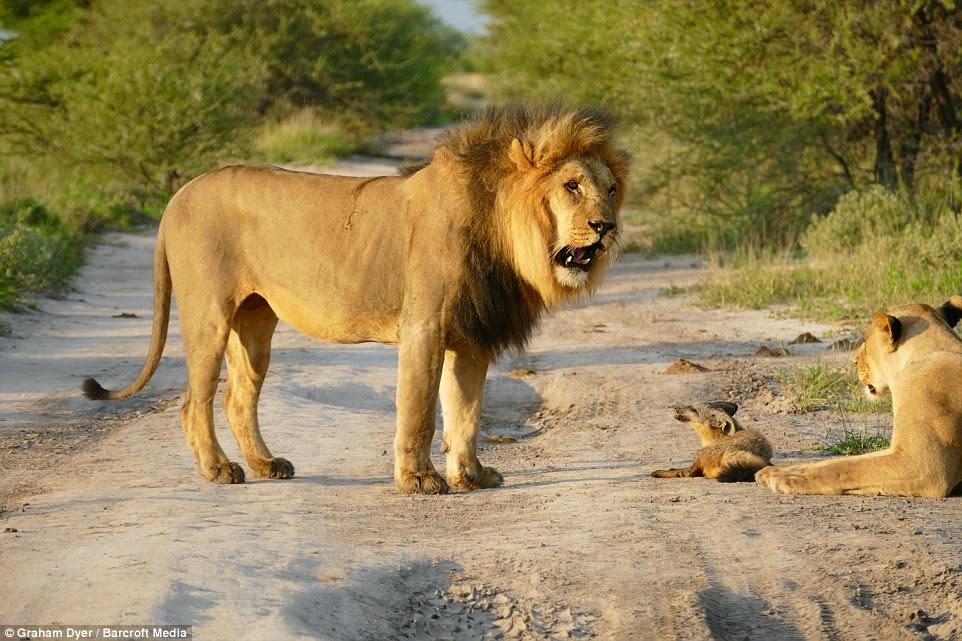 Large Lion Looking Dog