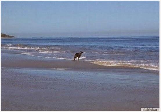Misteri Kangaru Berenang Ke Lautan Luas