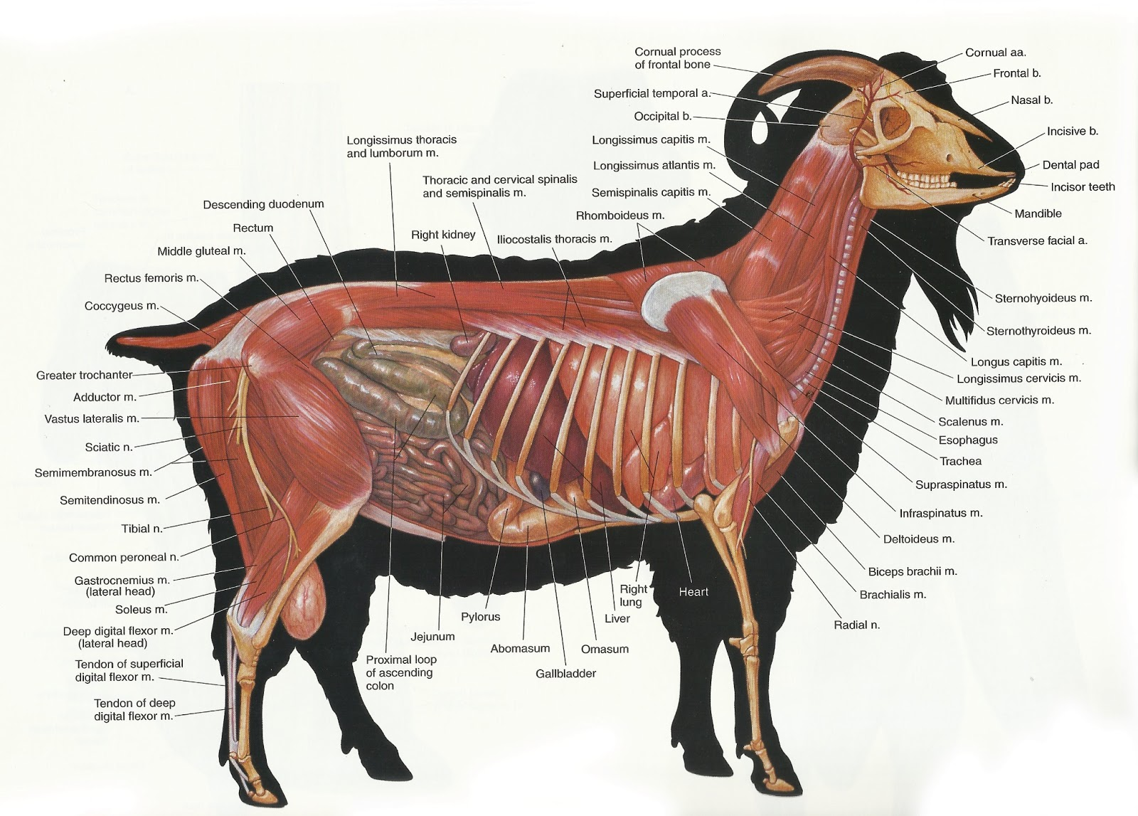 Anatomy of a sheep