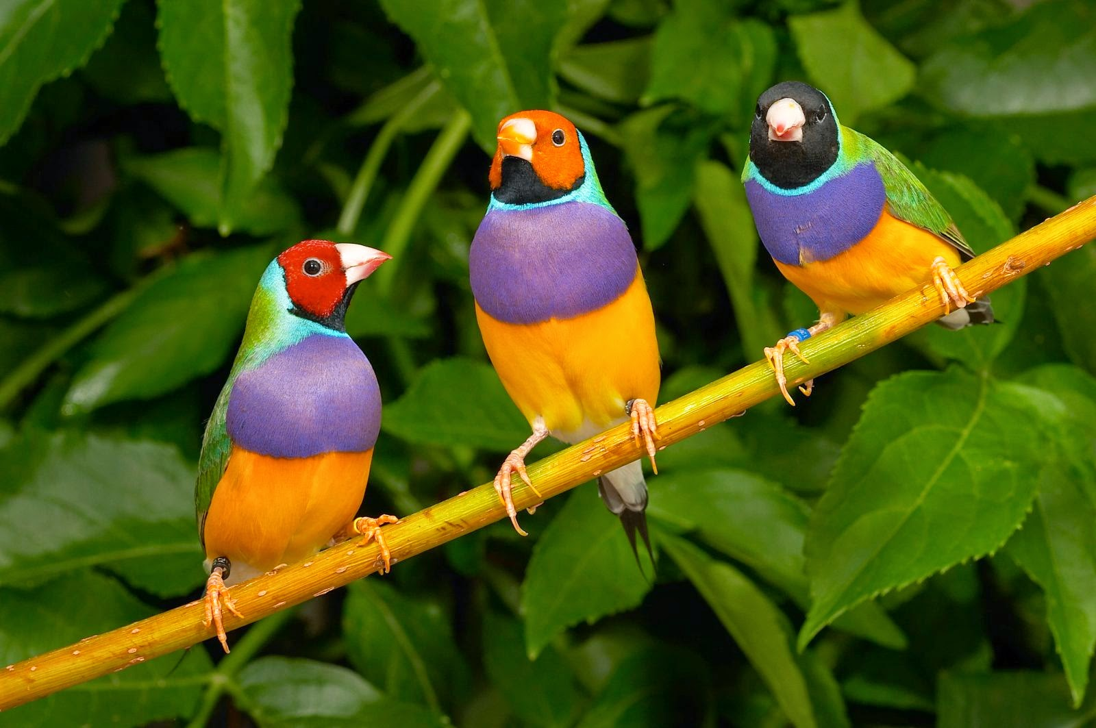 Pájaro Diamante Gould