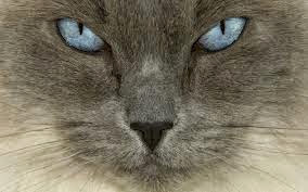 Close-Up View Ragdoll Cat