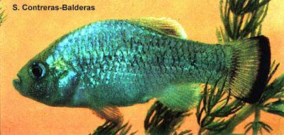 peces extintos Perrito de Potosí Cyprinodon alvarezi