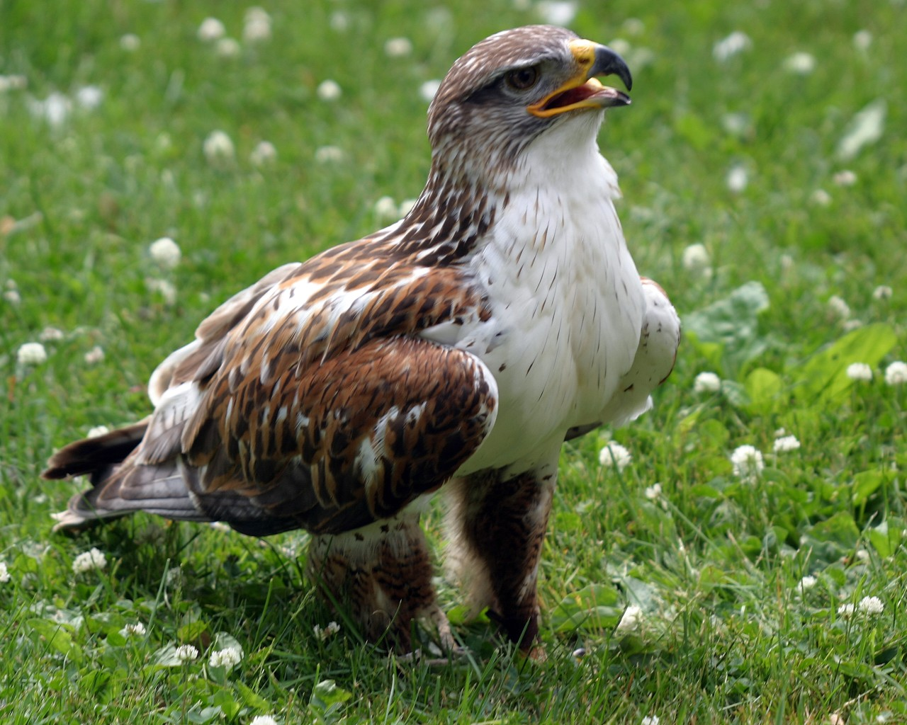 http://3.bp.blogspot.com/-f7MpqG9jWf8/Tka_PIwjGgI/AAAAAAAACGY/-EfVCVWWZ_g/s1600/Hawk-on-grass-pictures-birds-wallpapers.jpg