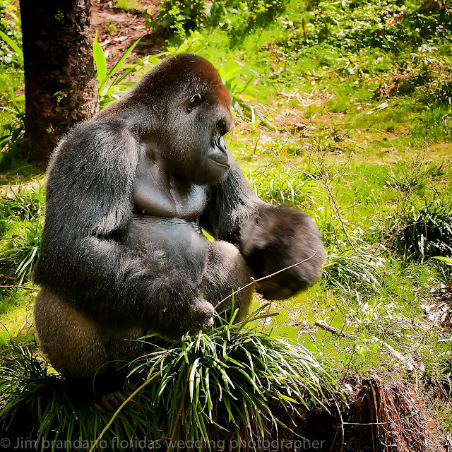 Grizzly Bear Vs Silverback Gorilla