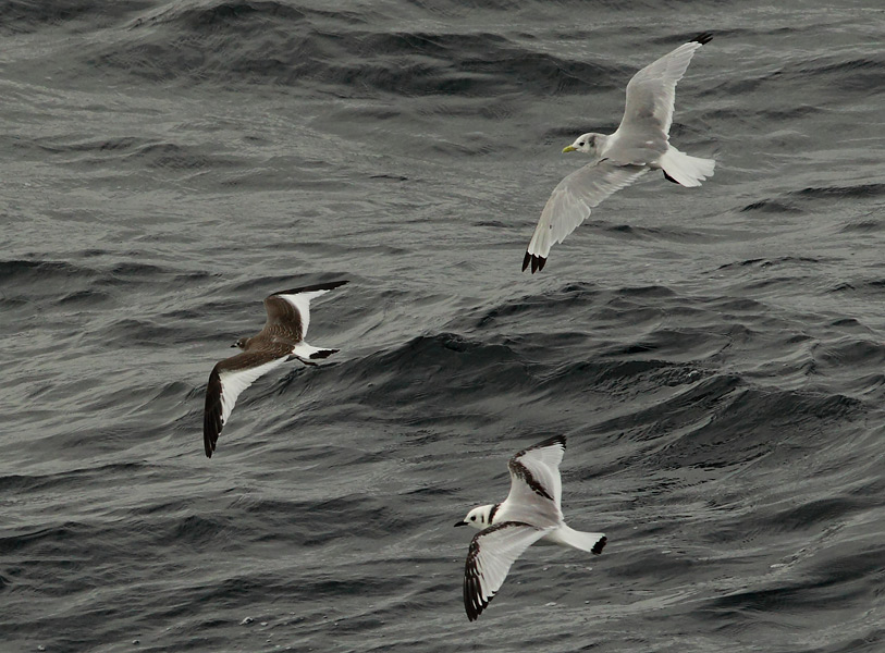 Sabine s Gull is a genuine thrill in Newfoundland and LabradorSabines Gull