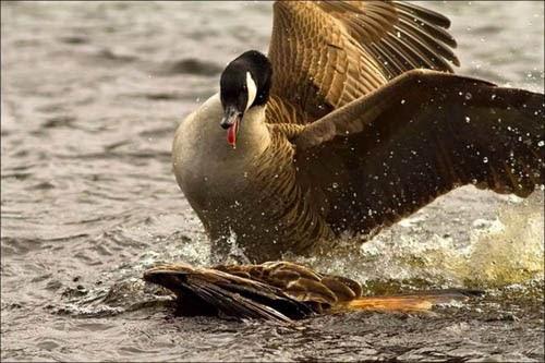 Eagle Hunting Fail  - Rare Photos