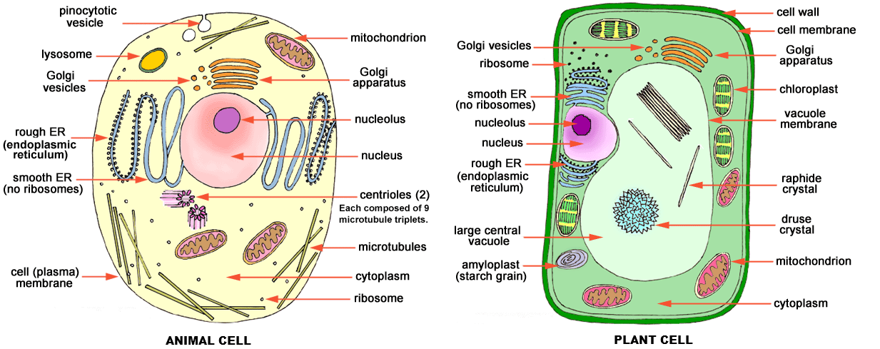 What is the difference between plant and animal cells