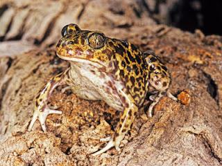 spadefoot toad animal wildlife